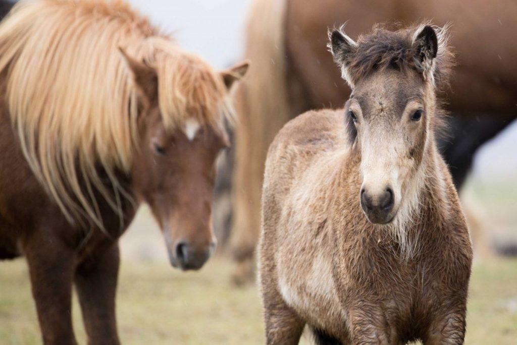 iceland-horse-tours