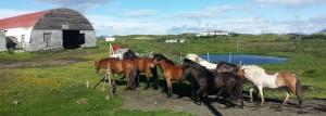 safari-horses